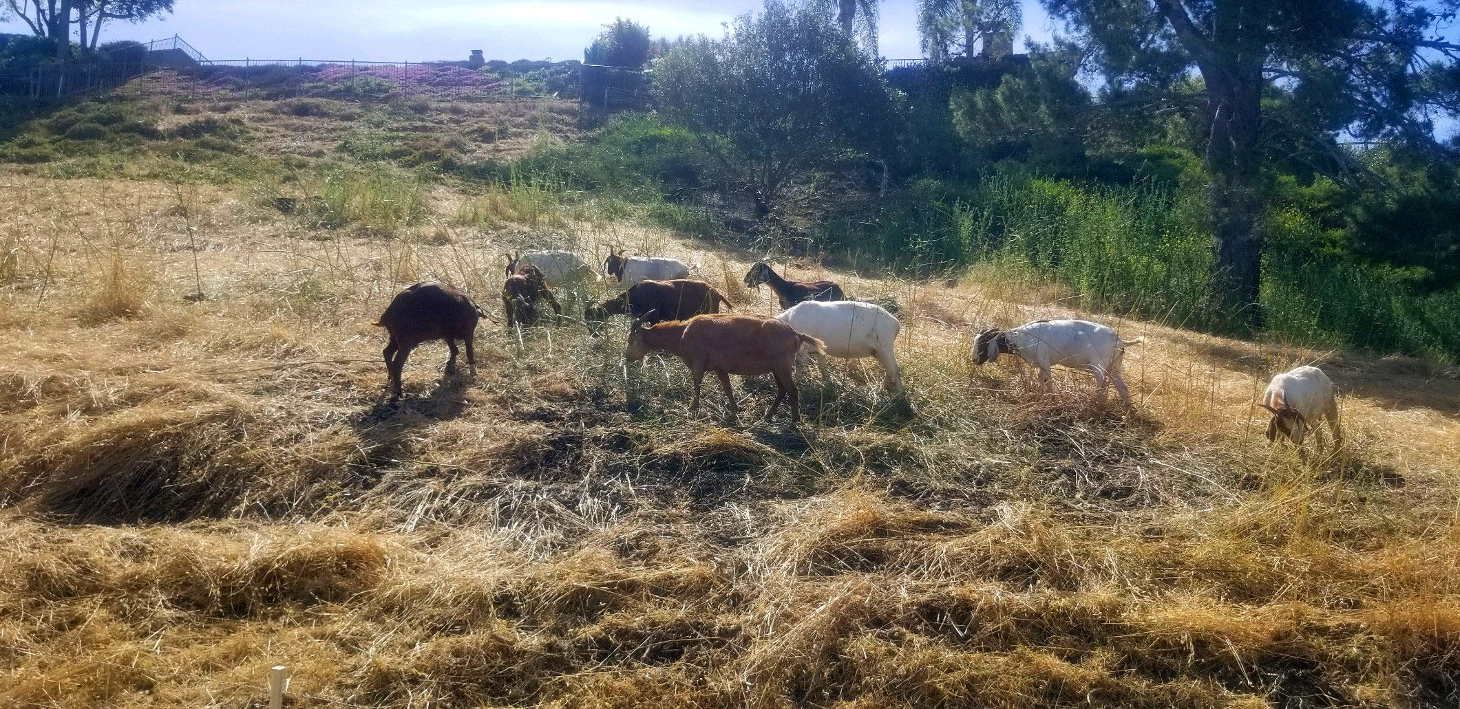 Goats for Grazing